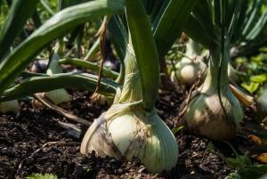 soil-ec-onions