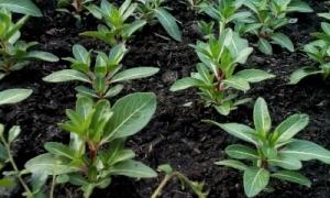 Soil_Growing