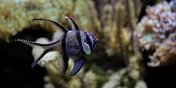 BenggaiCardinalFish